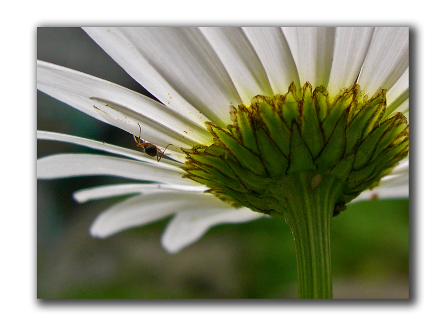 wider view of daisy, more aphids