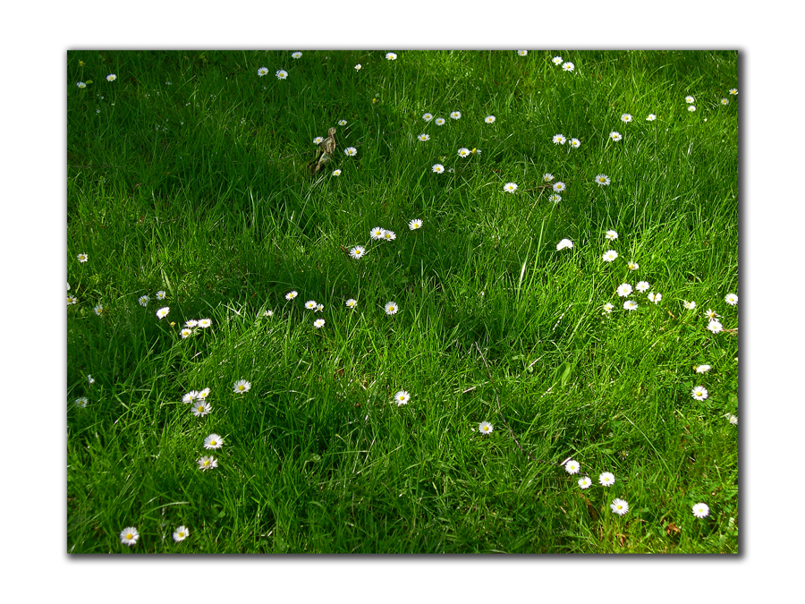 lawn with white daisies