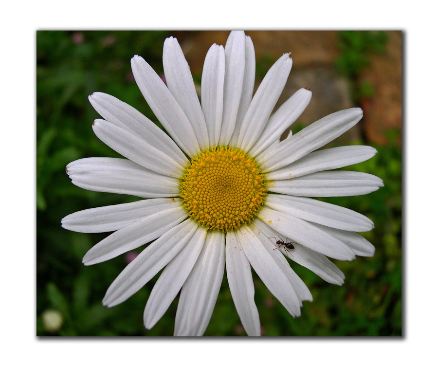top view of daisy with ant