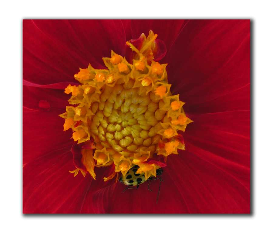 red dahlia with cucumber beetle