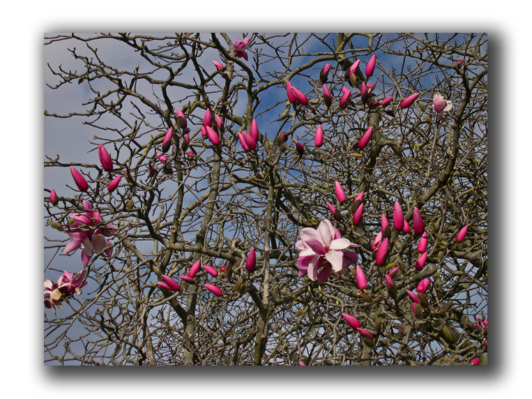 japanese magnolia blooming