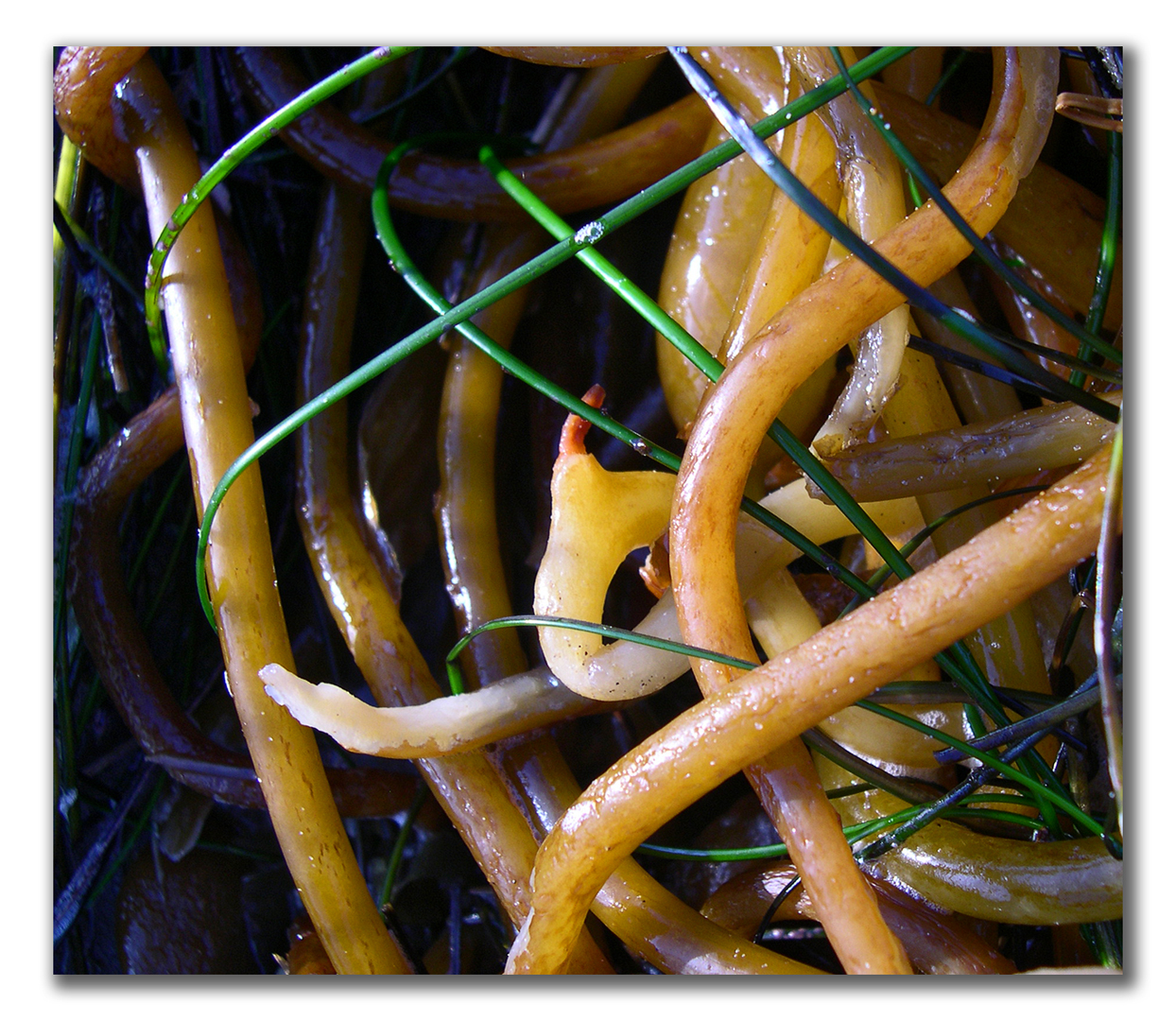 wet kelp stems left by tide