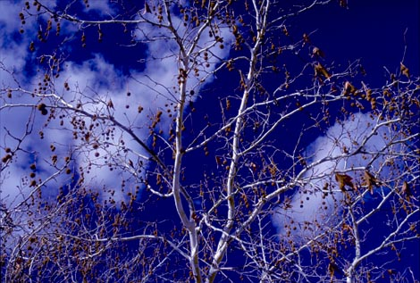 sycamore against blue sky