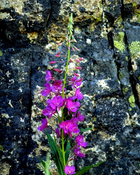 magenta flowers in front of lichened stone