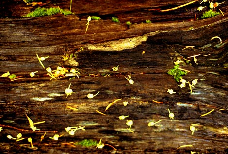 fallen blossoms on rotting log
