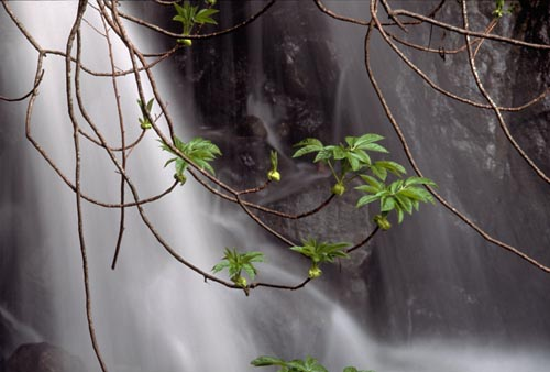young buckeye shoots hanging in front of waterfall